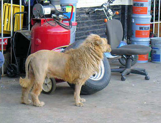 German Shepherd Lion Cut Bought a lion to protect